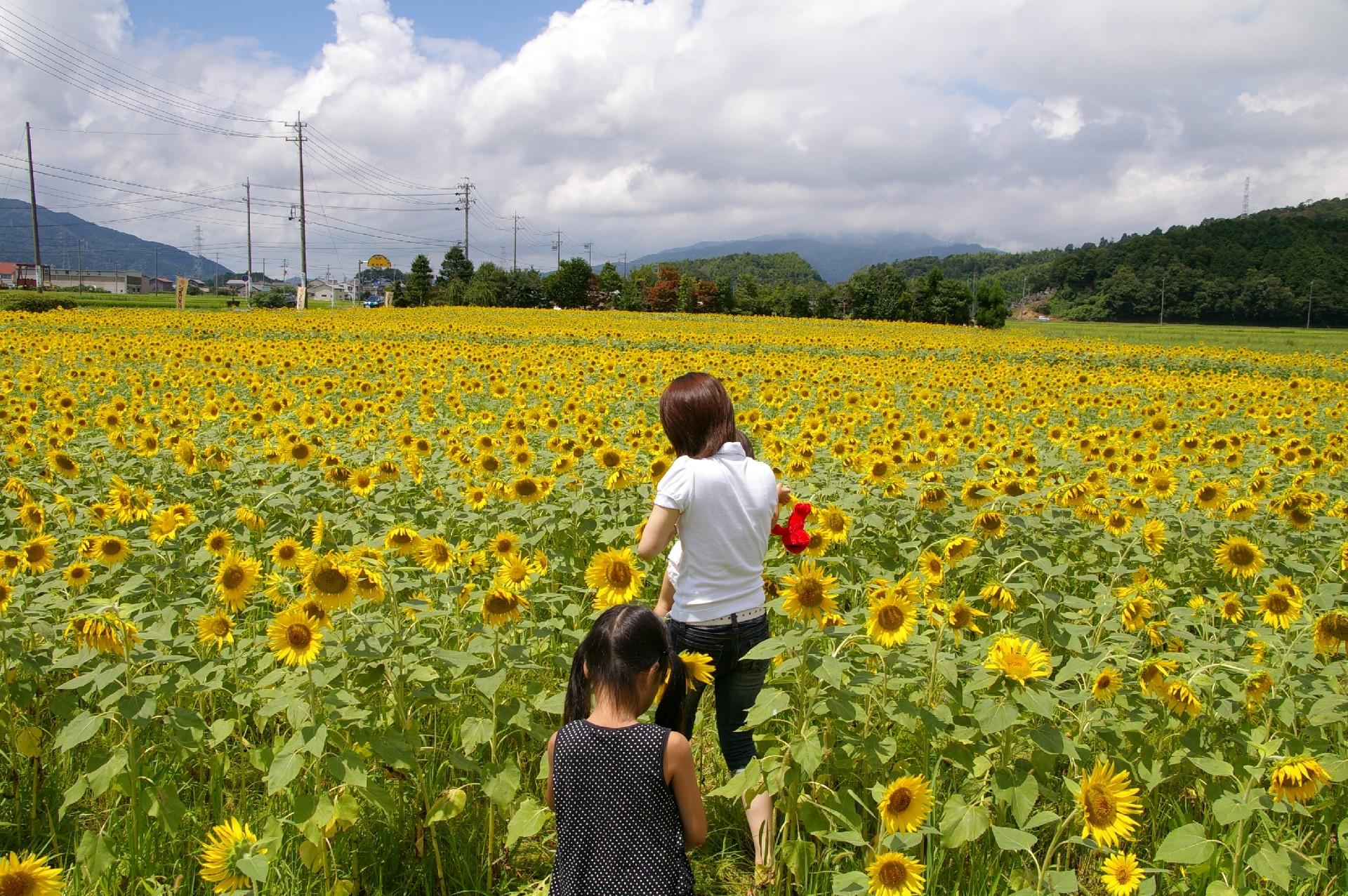 向日葵畑の親子
